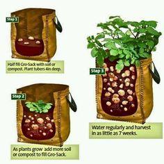 Growing potatoes - an inside view.