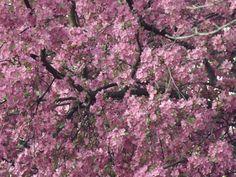 Springtime Blossoms in Colorado Springs
