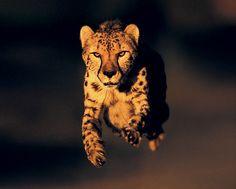 Cheetas!!