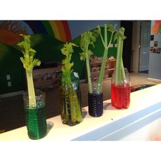 Preschool science. Could be done with carnations or any white flower too.--- For added math, measure how many (inches, cubes, etc) tall the color rises on the stalk