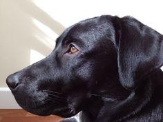 Buddy, my black labrador retriever