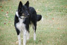 Sasha is an adoptable Collie Dog in Houston, TX. Sasha is a sweet, gentle 1 yr. old tri farm collie girl looking for her forever family. Sasha is spayed, house trained, and crate trained even though s...