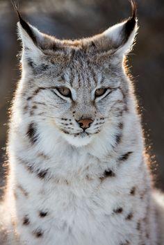 Lil' Lynx
