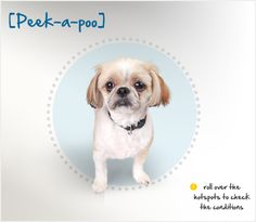 The Peek-a-poo (or Pekepoo) is the result of cross between a Pekingese and a Toy or Miniature Poodle. An active and energetic dog, the Peek-a-poo greatly enjoys her daily walks or romps in the backyard, which can help her avoid destructive tendencies. She is loving, affectionate and protective toward her family, and she is known to announce the presence of suspicious strangers with a mighty voice.