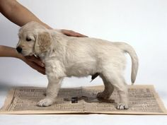 Training: Puppy Potty Training