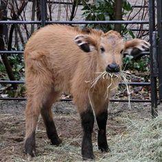 Forest buffalo calf