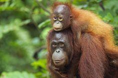 'Palmed Off': Is Your Dinner Killing Orangutans?