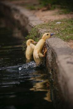 Determined baby ducks.