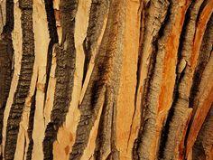 cottonwood-tree-bark