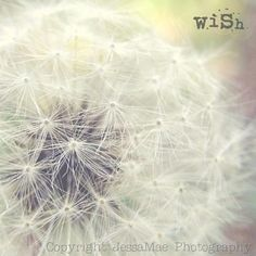 dandelion photographi, white mint, fine art photography, dandelion beauti, childhood, dandelion seed, dandelion drift, gray dandelion, dandelion dust