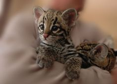 Way too cute! bengal cats, animal pictures, tiger, baby kittens, baby animals, animal babies, cub, eye, savannah cats