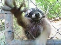 Raccoons -Freedom!