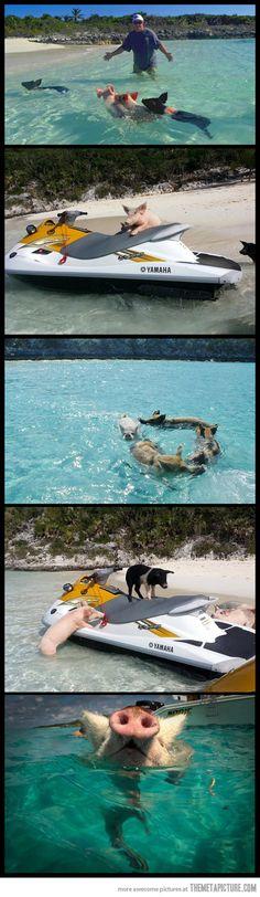 Pigs love water…