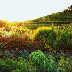 Brimming with plants that attract bees and other beneficial critters, the insectary garden at Benziger vineyards is as well tended as the wine grapes.