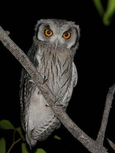 Southern White-faced Owl (Ptilopsis granti). Photo by Alan Van Norman.