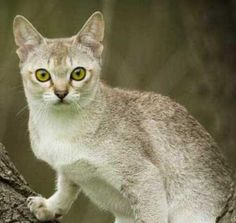 Singapura cat cats, anim, felin, favorit, pet stuff, singapura cat, exot cat, cat stuff, cat breed