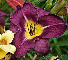 "Hemerocallis Bela Lugosi  Common Name: Daylily  Hardiness Zone:  3-9 S / 3-9 W  Height: 33""  Exposure: Full Sun  Blooms In: July-Aug  Spacing: 18-24"""