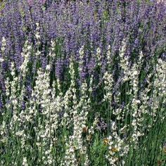 French hybrid lavender. Discovered as a sport of 'Grosso' (the most vigorous and cold hardy of the French hybrid types)