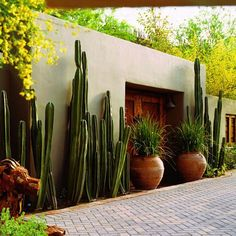 Mexican fence post cactus (Pachycereus marginatus) clustered and staggered along a courtyard wall.