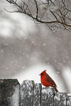 Red cardinal in the snow.