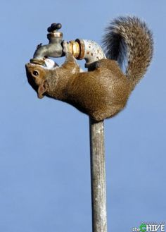 anim, squirrels, thirsti squirrel, funni, taps, faucets, amaz pictur, cold drinks, drinking water