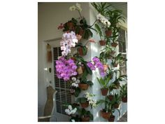 wow!! how beautiful A patio wall with many hanging flower pots of  phalenopsis and other orchids using hangapot hangers