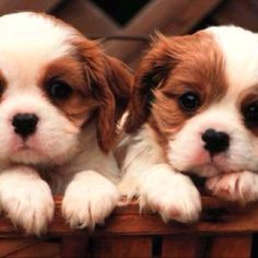 King Charles cavalier puppies - I love all dogs but I have never seen a breed as loving and cuddly as this one!