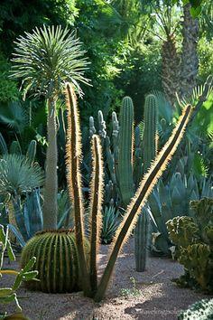 Cacti in Majorelle Garden in Marrakech