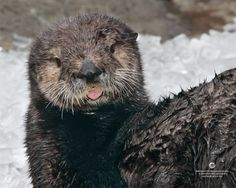 Cheeky sea otter pup sticks her tongue out for a photo - April 4, 2013