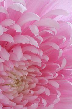 pink flowers, soft pink, pink weddings, pink ladies, pale pink