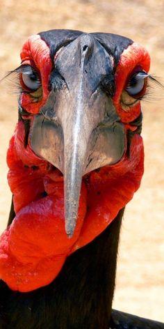 The nearly extinct Ground Hornbill.