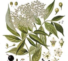 Sambucus nigra (Saúco)