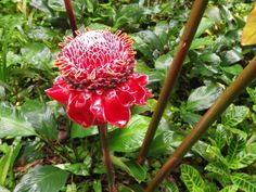Red Torch Ginger, Hawaii Tropical Botanical Gardens.