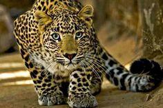 Beautiful leopard being beautiful...mrrrow!