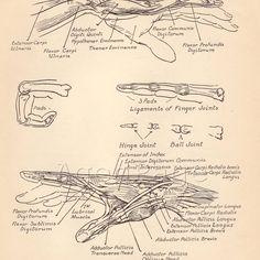 Vintage Human Anatomy Chart Illustrations, 1930s