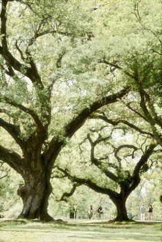 new orleans, majest oak, parks, louisiana, natur, trees, audubon park, place, oak tree