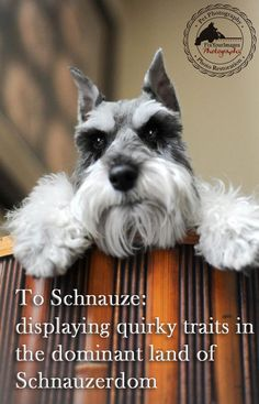 """Many of you might already know how funny Remington Schnauzer can be. Introducing a new series: """"To Schnauze"""" where you will be delighted in all of the shenanigans found in Schnauzerdom. www.fixyourimages.com"""
