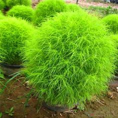 Bonsai Grass Broomse