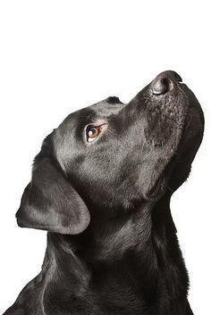 Black Labrador Retriever #Puppy #Puppies #Dogs #Dog #Pup #Photography #Labs #Retrievers #Lab