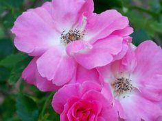 My carefree rose..so proud!