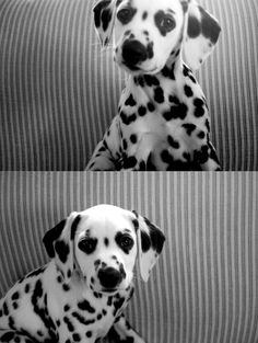 Awwww! That could totally be my puppy dalmatian puppy, aww, anim, dalmatian puppies, dalmatians, pet, dalmatian dog, ador, spot