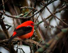 Scarlet Tanager - by Bill Pevlor. See more of this bird at http://popsdigital.com/?p=432 #scarlettanager #bird