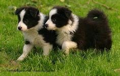 border collies, anim, puppies, beauti colli, bulletbord colli, colli puppi, ador border, babi border, dog