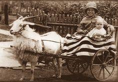 USA goat cart  #goatvet