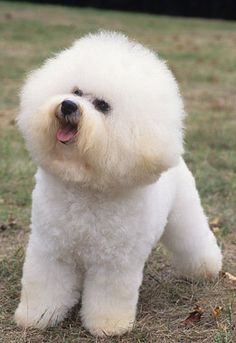 Bichon Frise #dogs #animal #bichon #frise