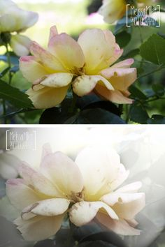 Learn how to reduce the color saturation and add a foggy haze to your photos. #NewEnglandGirl #Photoshop #Art #HowTo #Flower