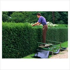 GAP Photos - Garden & Plant Picture Library - Cutting Yew hedge ...