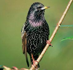 starling murmuration | Video of Starlings swarming in Ireland Starlings Murmuration