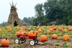 A radio flyer filled with pumpkins at the pumpkin patch!