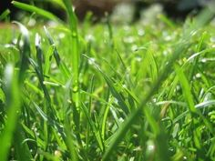 A question most often asked about lawn care is: When should I water? The simple answer is when the lawn needs it, but how can you tell? If the grass looks wilted, it needs water. If you walk on the lawn and the grass does not spring back up, that's another sign.